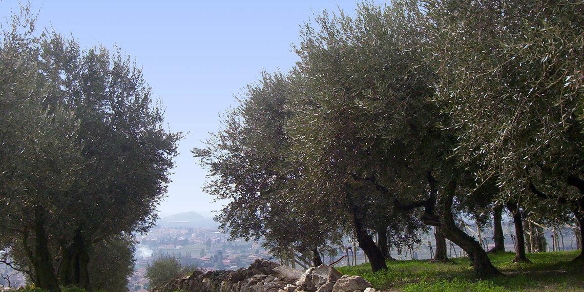 Olivi In Valpolicella