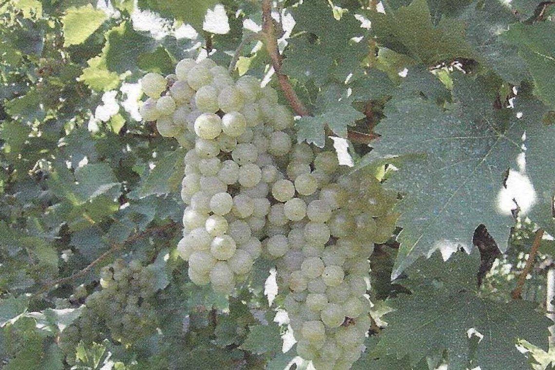 Besondere Lebensmittel Weintrauben