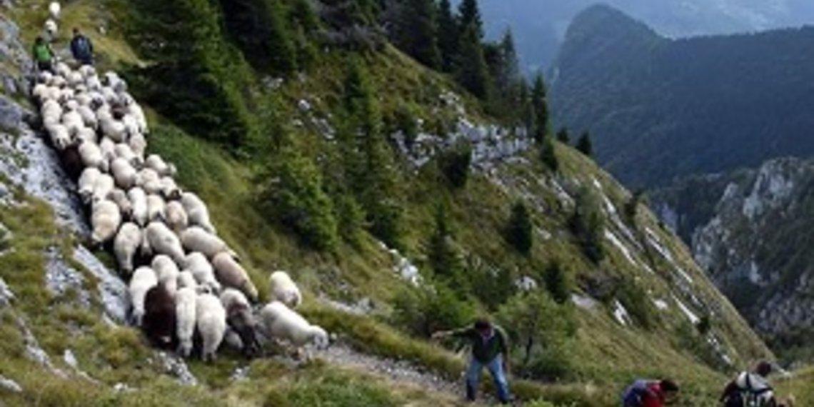 pecora di Lamon