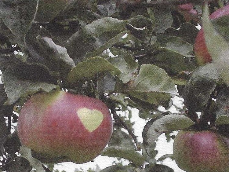 Besondere Lebensmittel Äpfel