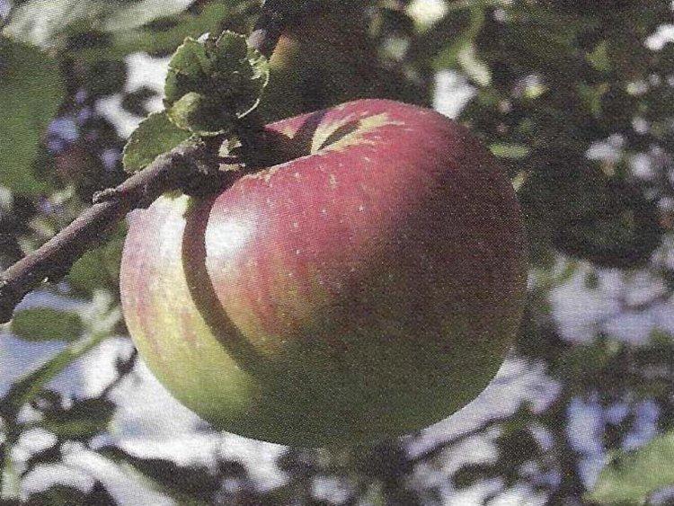 Besondere Lebensmittel Apfel