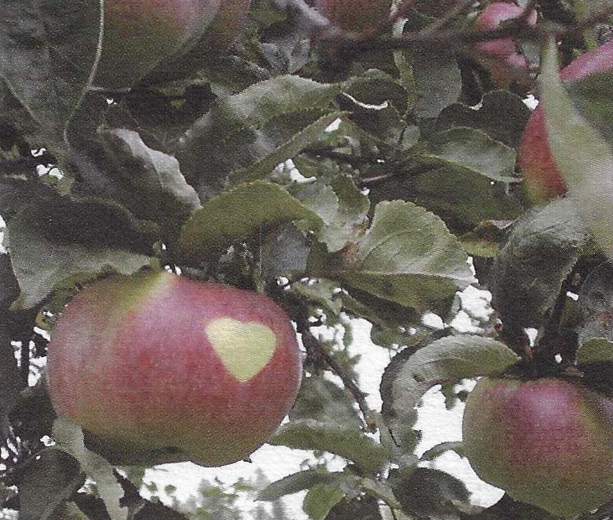 "Different varieties of the ""Prussian Apple"""